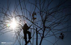 هرس زمستانه درختان تهران