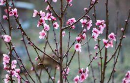 شکوفه های زمستانی در مناطق ییلاقی گیلان