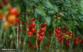بهره برداری از فاز دوم بزرگترین گلخانه هیدروپونیک کشور در زرندیه