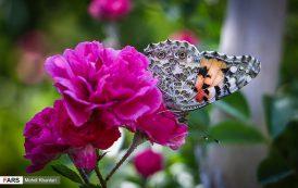 پروانه ها در « ورامین »