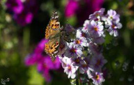 پروانه ها در تهران