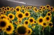 مزرعه آفتابگردان - شیروان