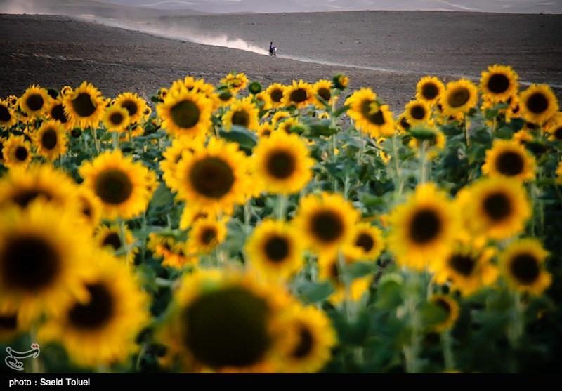 مزرعه آفتابگردان – شیروان