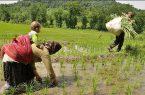 معاملات برنج امسال در بورس کالا قد می کشد/ گواهی سپرده برنج می تواند به گزینه اول برنجکاران تبدیل شود